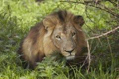 Leão que encontra-se na máscara da árvore Imagem de Stock