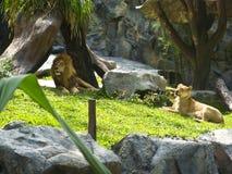 Leão que olha fixamente no jardim zoológico Imagem de Stock