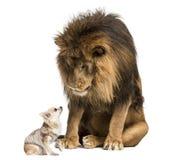 Leão que senta e que olha uma chihuahua Fotos de Stock Royalty Free