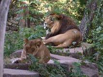 Leo .Ukraina. Kiev. Lion and Lioness in the Kyiv Zoo .Ukraina stock image