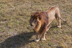 Leo on a walk.The Safari Park Stock Photos