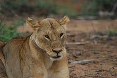 leoa Imagens de Stock Royalty Free