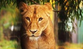 leoa Fotografia de Stock