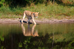 leoa Foto de Stock