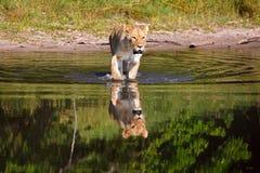 leoa Imagem de Stock