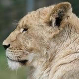 leoa Foto de Stock Royalty Free