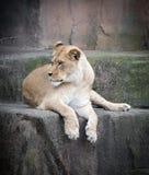 leoa Imagens de Stock