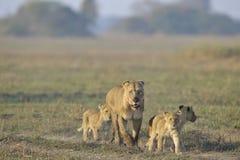 Leoa após a caça com filhotes. Imagens de Stock