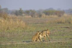 Leoa após a caça com filhotes. Fotos de Stock