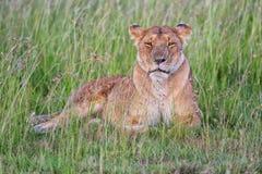 Leoa bonita que descansa no Masai mara Foto de Stock