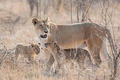 Leoa com filhotes Imagens de Stock