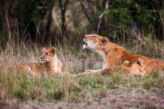 Leoa com os filhotes de leão novos (Panthera leo) na grama, Imagens de Stock