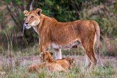 Leoa com os filhotes de leão novos (Panthera leo) na grama, África Foto de Stock