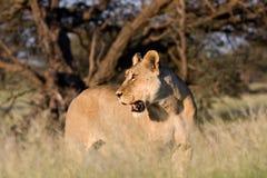 Leoa de Kalahari na luz dourada Imagem de Stock Royalty Free
