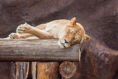 Leoa do sono no jardim zoológico Fotografia de Stock