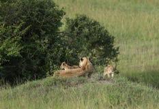 Leoa e dois filhotes em uma montagem no Masai Mara Game Reserve, Kenya, fotos de stock royalty free