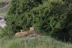 Leoa e dois filhotes no Masai Mara Game Reserve, Kenya, fotografia de stock royalty free