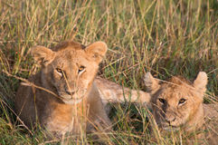 Leoa e filhote Imagens de Stock