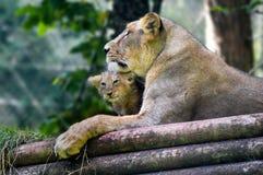 Leoa e filhote do jardim zoológico de Paignton fotos de stock