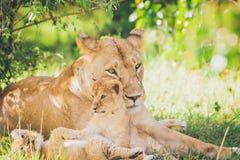 Leoa e filhotes brincalhão na grama no Masai mara em África imagem de stock royalty free