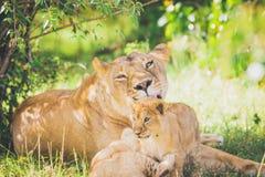 Leoa e filhotes brincalhão na grama no Masai mara em África fotografia de stock royalty free