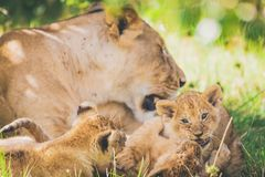 Leoa e filhotes no Masai mara em África imagem de stock royalty free