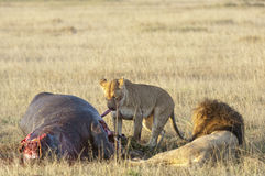 Leoa e leão na matança do hipopótamo Fotografia de Stock