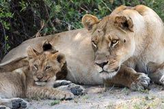 A leoa e o filhote veem algo do interesse Imagem de Stock