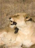 Leoa em Thornybush Fotografia de Stock