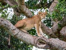 Leoa em uma árvore grande Close-up uganda East Africa Fotos de Stock