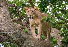 Leoa em uma árvore grande Close-up uganda East Africa Foto de Stock