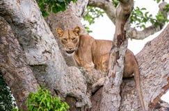 Leoa em uma árvore grande Close-up uganda East Africa Fotos de Stock Royalty Free