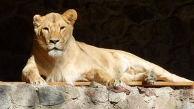 A leoa está descansando Imagem de Stock Royalty Free