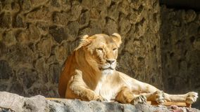 A leoa está descansando Foto de Stock