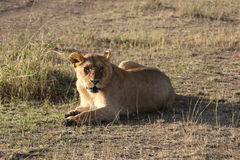 Leoa fêmea no maasai selvagem mara fotografia de stock