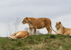 Leoa (Leão do Panthera) imagem de stock