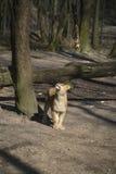 Leoa na madeira Foto de Stock Royalty Free