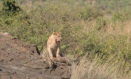 Leoa na região selvagem do Masai mara, Kenya Foto de Stock
