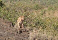 Leoa na região selvagem do Masai mara, Kenya Fotografia de Stock Royalty Free