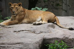 Leoa na rocha Imagem de Stock
