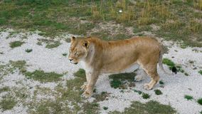 Leoa no jardim zoológico vídeos de arquivo
