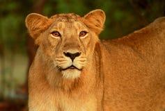 Leoa no parque nacional da floresta de Gir Fotos de Stock