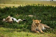 Leoa que descansa após o almoço Imagens de Stock Royalty Free