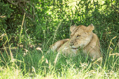 Leoa que descansa nos arbustos no parque nacional de Maasai Mara com lotes das moscas que cobrem o (Kenya) Fotos de Stock