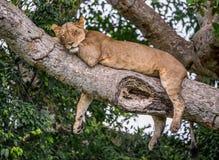 Leoa que encontra-se em uma árvore grande Close-up uganda East Africa Imagem de Stock Royalty Free