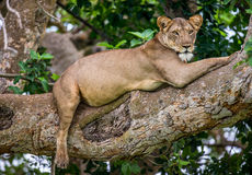 Leoa que encontra-se em uma árvore grande Close-up uganda East Africa Imagem de Stock