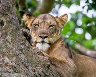 Leoa que encontra-se em uma árvore grande Close-up uganda East Africa Fotos de Stock Royalty Free