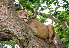 Leoa que encontra-se em uma árvore grande Close-up uganda East Africa Foto de Stock Royalty Free