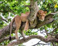 Leoa que encontra-se em uma árvore grande Close-up uganda East Africa Fotos de Stock