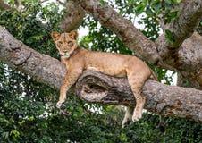 Leoa que encontra-se em uma árvore grande Close-up uganda East Africa Imagens de Stock